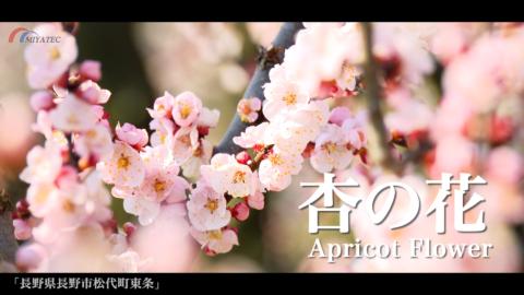 4K)あんずの花と北アルプス〜長野県長野市松代町〜