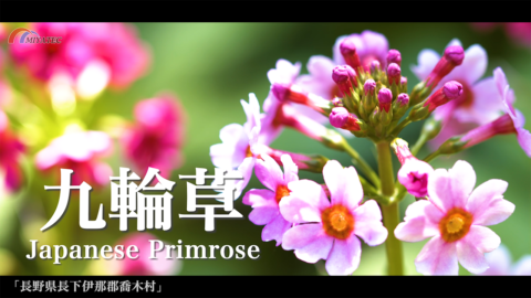 4K)涼しげに咲くクリンソウ〜長野県喬木村〜