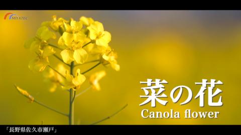 4K)夕景の菜の花〜長野県佐久市〜