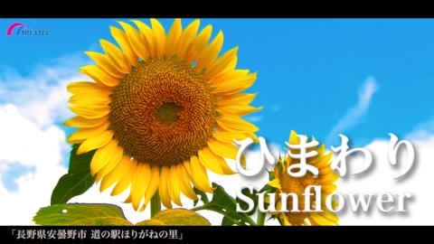 4K)夏空の下 元気に咲くひまわり〜長野県安曇野市〜