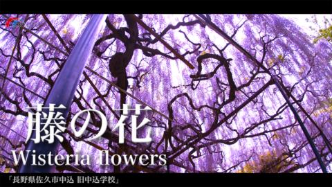 4K)古き学舎の藤の花〜長野県佐久市〜