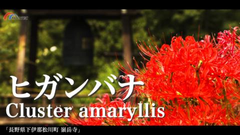 4K)嶺岳寺のヒガンバナ〜長野県松川町〜